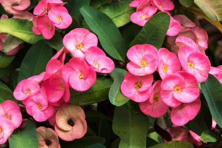 Pink Crown of thorns flowers with green leaves background.Christ thorn background.Christ thorn flowers.Euphorbia milli Stok Fotoğraf