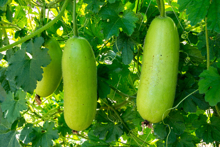 Hanging winter melon in the garden.Young winter melon.Green winter melon Stock Photo