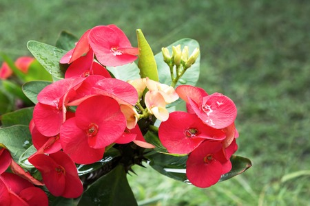 Red Crown of thorns flowers with green leaves background.Christ thorn.Christ thorn flowers.Euphorbia milli