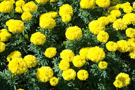 marigolds: Yellow Marigolds flower.Marigold flowers in the garden