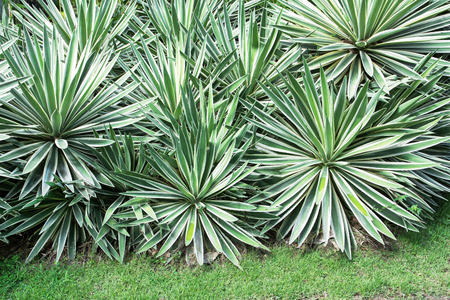 Sisal or Agave sisalana green leaves in garden