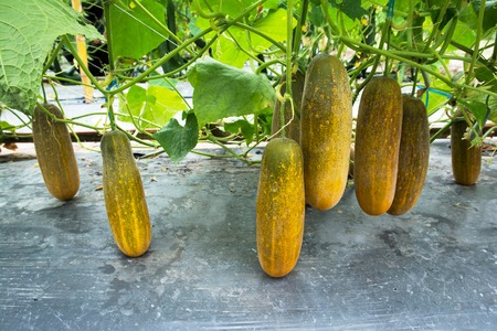 Yellow color cucumber growing at farm background Stock Photo