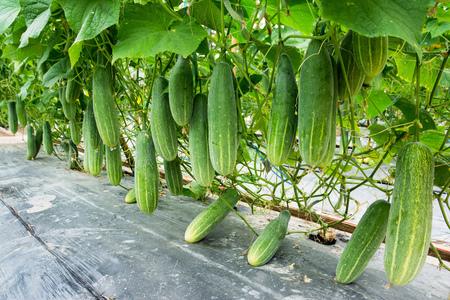 Komkommer het groeien bij landbouwbedrijfachtergrond