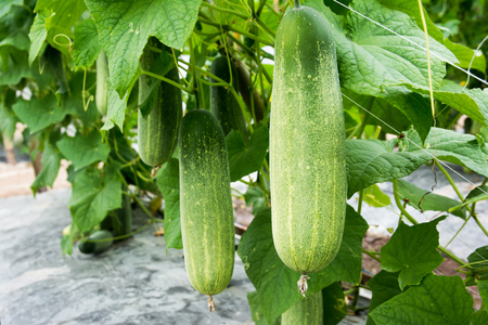 Closeup cucumber growing at farm background Stok Fotoğraf - 97313080