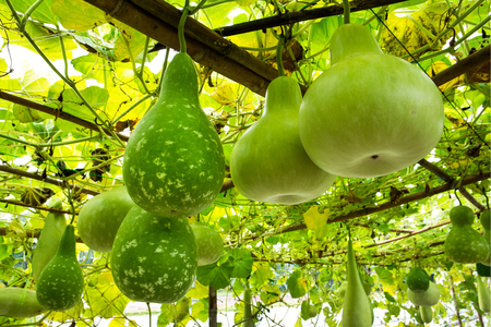 Tree of gourd and bottle gourd on the vine.(Lagenaria siceraia (Molina) Standley.)