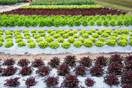 Outdoor oak vegetables plantation Stock Photo