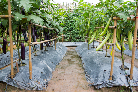 Long eggplant at farm background. Green and purple long eggplant farming
