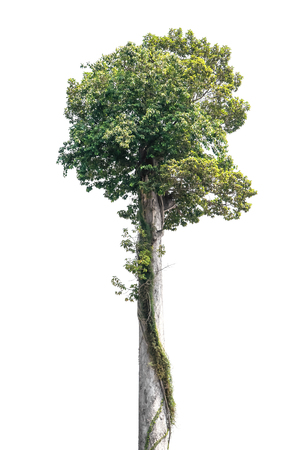 Big tree isolated on white background. Large rubber tree with creeping plant isolated Stock Photo