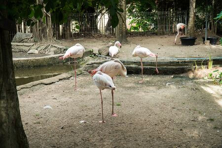 Flamingos sleeping in the zoo. Flock of Greater Flamingo bird sleeping background. (Phoenicopterus roseus) Stok Fotoğraf