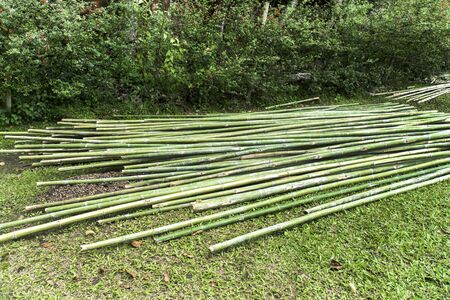 Bamboo wood pile in the garden background. Heap of cut fresh bamboo wood tree plant on grass field Stok Fotoğraf