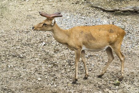 Deer antler with whitetail growth process in the zoo background. Young antlered deer with short new horn