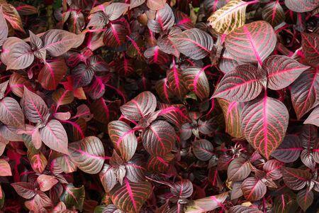 Iresine herbstii flowers plant Stok Fotoğraf