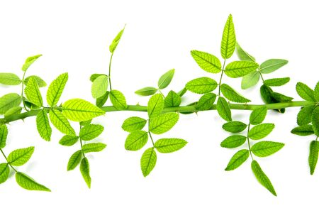 Closeup of green rose leaves tree branch with thorn isolated on white background. Horizontal green rose leaves twig isolated Stok Fotoğraf