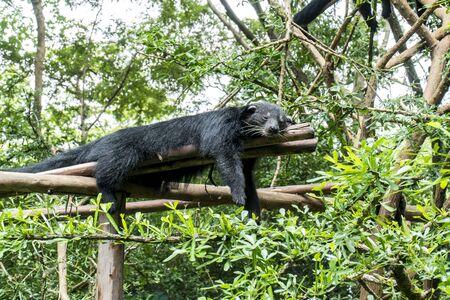 Binturong bear sleeping on tree branches with green leaves background. Black Bearcat on tree trunk. ( Arctictis binturong )