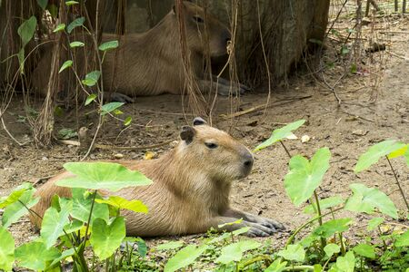 Capybara rodent animal in nature environment with tree plant background. Giant Capybara rat sitting and rest at the zoo. ( Hydrochaeris hydrochaeris )
