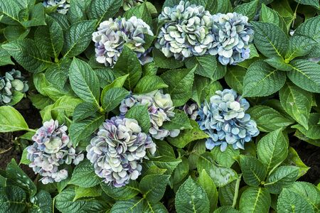 Bunch of multicolor hydrangea flowers with leaves in the garden background. Purple hydrangea floral plant in the park with green leaf. ( Hydrangea Macrophylla )