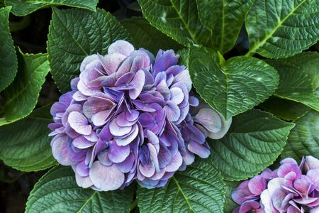 Closeup of bunch of multicolor hydrangea flowers with leaves in the garden background. Purple hydrangea floral plant in the park with green leaf. ( Hydrangea Macrophylla )