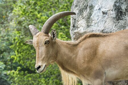 Barbary sheep with green tree and rock background. Closeup head of mountain goat female with forest green tree and stone. ( Ammotragus lervia ) Stok Fotoğraf