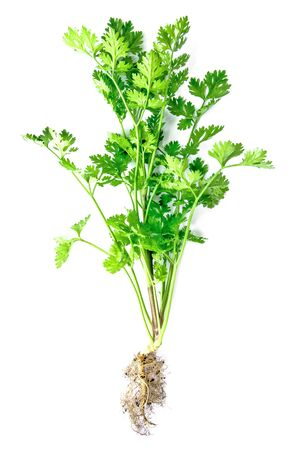 Coriander leaves vegetable isolated on white background. Fresh Cilantro or coriander leaf with root isolated