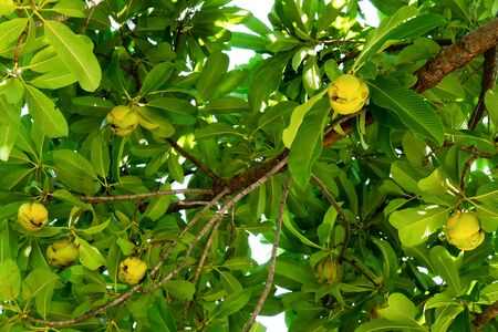 Elephant apple fruit on tree with leaves background. Dillenia Indica fruit or Evergreen tree fruit with green leaves and branches. (DILLENIACEAE) Stockfoto