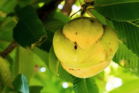 Closeup elephant apple fruit on tree background. Macro Dillenia indica or Chulta fruit with green leaves and branches