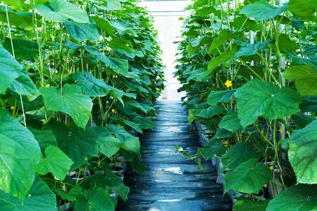 Young Green melon leaves agriculture in public greenhouse in farm background. Row of green melon leaf with yellow flowers plantation in farm background