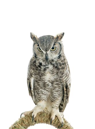 Owl bird isolated on white background. Front view of long ear owl bird perch on a rail roost isolated 版權商用圖片