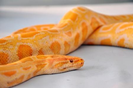 boa snake photo