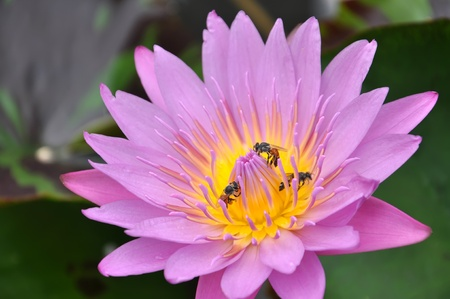Lotus with bee in the garden  photo