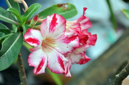 Desert Rose Flowers photo