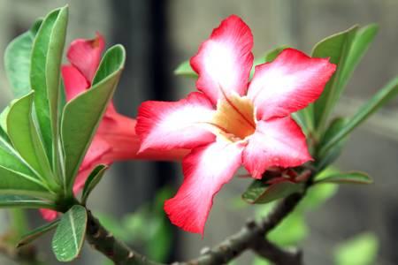 Desert Rose Flowers photo