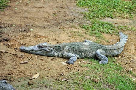 Crocodile in a farm, Thailand photo