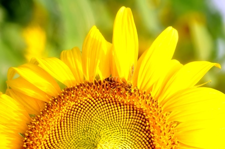 closeup of bee and sunflower photo