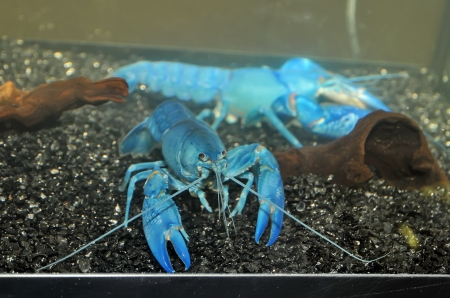 The blue crawfish in aquarium photo
