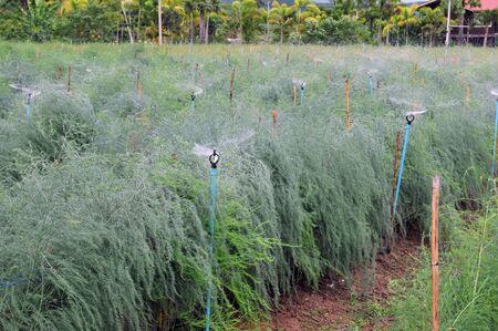 Asparagus farm with sprinkler photo