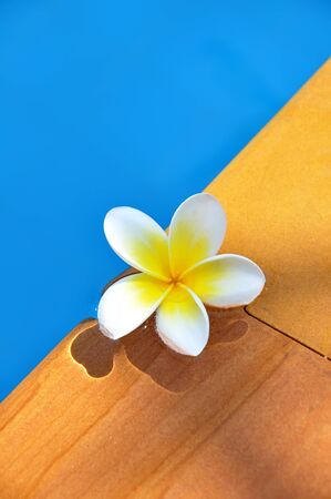 White Frangipani flower in the swimming pool photo