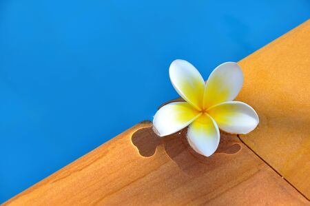 White Frangipani flower in the swimming pool photo