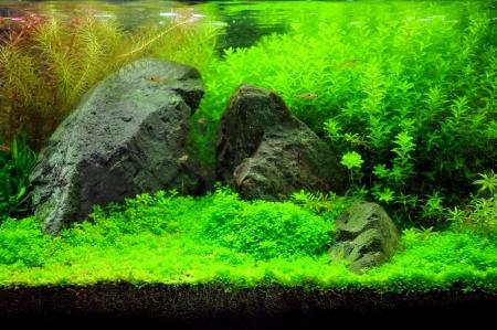 freshwater aquarium plants: A beautiful planted tropical freshwater aquarium with fish Stock Photo