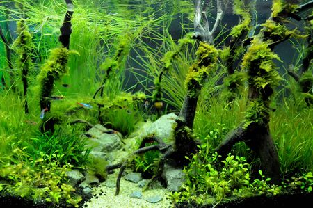 A beautiful planted tropical freshwater aquarium with fish Stock Photo - 20884200
