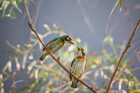 Couple Coppersmith barbet On The Tree,Condominium Area.