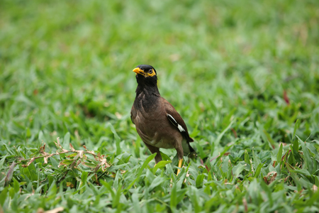common myna bird: Common Myna bird (Acridotheres tristis) stands on grass
