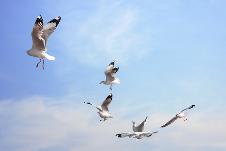 Funny looking Seagullss expression during snatching food in sky Stock Photo