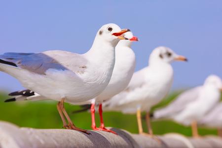 Seagulls perch on rail bridge, Funny looking Seagulls, Selective focus.