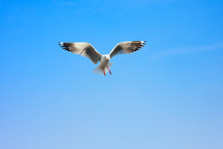 Funny looking Seagullss expression during snatching food in sky, selective focus