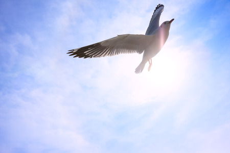 Seagull flying in sky, background.