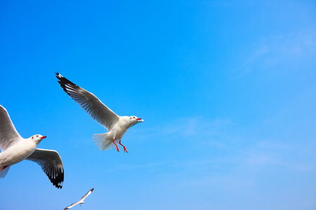 seabird: Funny looking Seagullss expression during snatching food in sky, selective focus