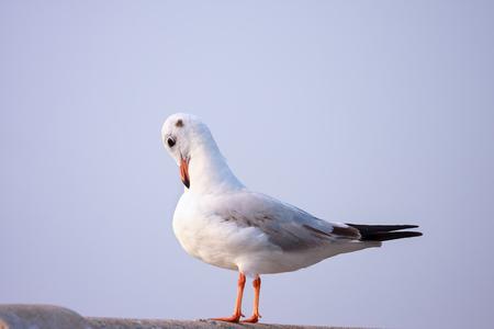 preening: Alone seagull preening its feathers on rail bridge. Stock Photo