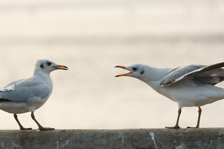 invade: Seagull singing to repel another one at sunset