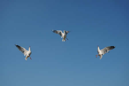 Three seagulls snatching food in sky Stock Photo