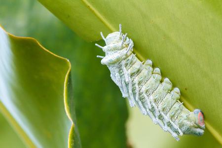 Atlas Moth Attacus atlas Caterpillar : Last stage of largest caterpillar attacus atlas moth. 版權商用圖片